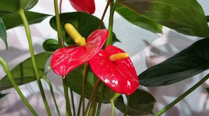 Anthurium-floristeria-arantza-vitoria-1