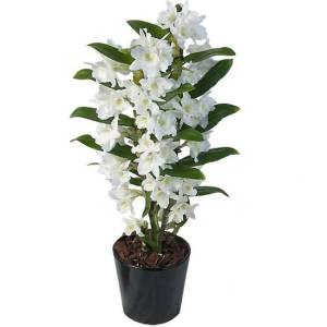 Cuidados de orquídeas Dendrobium