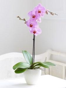 Cuidados de orquídeas Phalaenopsis